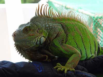 Colores de iguanas